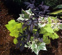 Sweet Potato Vines Raised Garden Beds, Raised Bed, Potato Vines, Florida Gardening, Flower Pots, Flowers, South Florida, Sweet Potato, Plants
