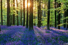 Bluebell Forest, Hallerbos, Belgium by Chung Hu