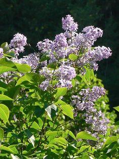 Pihasyreeni, Syringa vulgaris - Puut ja pensaat - LuontoPortti