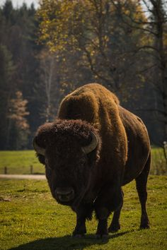 Buffalo!!! I'm not sure why but I think buffalo are just the cutest things ever!!!!