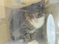 LENNON - A1094193 - - Brooklyn  ***TO BE DESTROYED 10/24/16*** LENNON IS FIV POSITIVE, NEUTERED AND STRAY? This sounds like a lost or abandoned cat. Sadly nobody claimed LENNON when he was brought in, so now we have a cat who needs a home and NOW! His fear has branded him with a RESCUE ONLY rating. And don't be afraid of FiV! It's certainly something a cat can live with AND for a very long life! FIV cats can live with NON-FIV CATS just fine! What LENNON CANNOT L