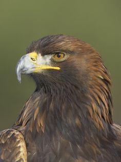 Golden Eagle (Aquila Chrysaetos) Adult Portrait Cairngorms National Park Scotland UK by Pete Cairns