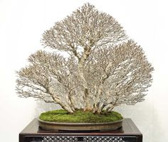 Bonsai BONSAI More At FOSTERGINGER @ Pinterest