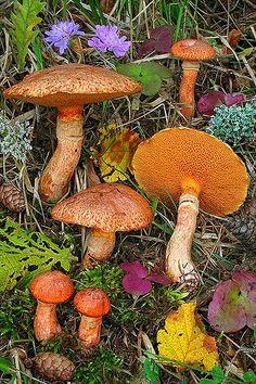Suillus Tridentinus | Flickr - Photo Sharing! Wild Mushrooms, Stuffed Mushrooms, Orange Mushroom, Poisonous Plants, Mushroom Fungi, Plant Drawing, Green Garden, Fall Harvest, Nature Pictures
