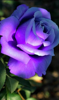 Beautiful Rose Flowers, Rare Flowers, Exotic Flowers, Purple Flowers, Red Roses, My Flower, Flower Art, Types Of Roses, Purple Love