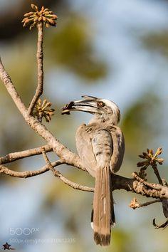 Grey Hornbill -