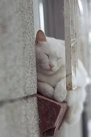 The art of snoozing by Miss Kitty ~ white cat Beautiful Cats, Animals Beautiful, Cute Animals, Baby Cats, Cats And Kittens, Ragdoll Kittens, Funny Kittens, Bengal Cats, Adorable Kittens