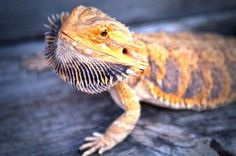 Bearded Dragons make great pets for beginner reptile pet owners