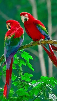 The scarlet macaw ( Ara macao ) Costa Rica, Central America