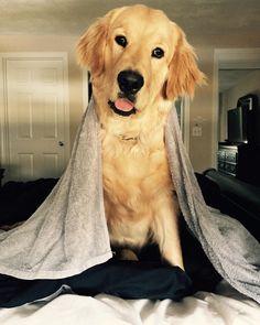 English Cream Golden Retriever Puppy service dog in training ...
