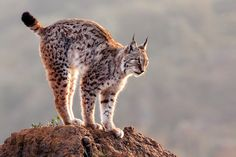 Lince - null