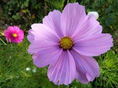 Perfect petals Cosmos