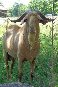 Samson the Kiko buck.  Look at those horns!