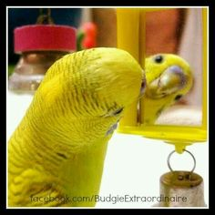 Parakeet looking in the mirror Funny Birds, Cute Birds, Pretty Birds, Beautiful Birds, Budgie Parakeet, Budgies, Parrots, Bird Pictures, Animal Pictures