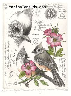 Fine Art Etchings by Marina Terauds: Tufted Titmouse