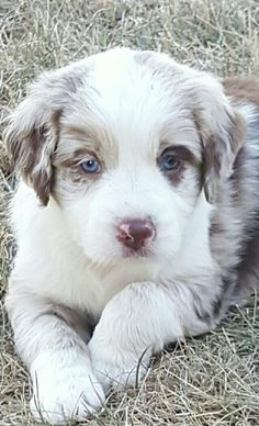 Australian Shepherd And Springer Spaniel Pups