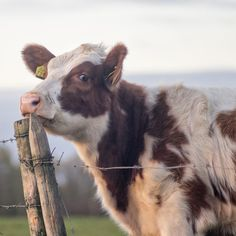 Take this YELLOW tag off my ear ! I don't want to die ! Cute Baby Cow, Baby Cows, Cute Cows, Cute Baby Animals, Farm Animals, Animals And Pets, Baby Elephants, Wild Animals, Cow Pictures