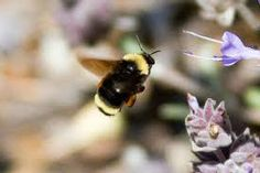bombus californicus - Google Search