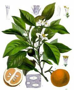 Un articolo sull'uso dell'Olio essenziale di Arancio amaro per la perdita di peso http://www.fiordicamomilla.org/2012/11/aromaterapia-e-oli-essenziali-olio-essenziale-di-arancio-amaro-e-perdita-di-peso/