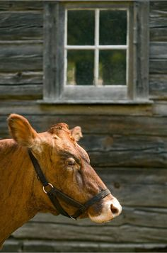 Old brown cow