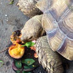 Shelly Solovino enjoying a fallen peach .  She is an African Spur Sulcata Tortoise.