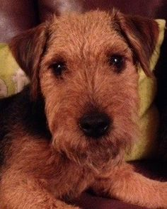 Lakeland Terrier Dog pup for sale | Stoke On Trent, Staffordshire | Pets4Homes