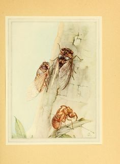 Fabre's book of Insects. Edward Julius Detmold. The Cicada