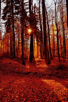 ✯ Sunrise in the Forest