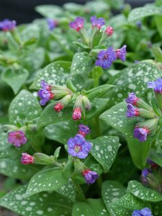 De Vroomen's Pride Lungwort Pulmonaria 'De Vroomen's Pride'  Brighten a shady garden spot with nearly white foliage splashed in green. Early in the season, blue flowers emerge for a beautiful show as each ages gradually to pink. Great for border front, edging a pathway, or as a woodland garden ground cover.