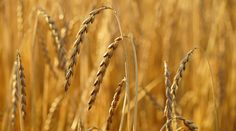 Spelt or spelt wheat (Triticum spelta) is a type of wheat that has gained much fame in recent times due to its nutritional properties and the increase in the consumption of breads and other products made from spelt wheat. However, the use of this type of wheat dates back to… #FamilyAgain #CoeliacDisease, #Fibre, #Gluten, #Lysine, #Proteins, #Spelt, #SpeltWheat, #Vitamins, #Wheat Types Of Cereal, How To Relieve Headaches, Food Intolerance, Irritable Bowel Syndrome, Types Of Food, Balanced Diet, Health Benefits, Dates, Breads
