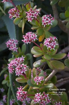 "Welcome to my jade plant page! Commonly called ""jades,"" succulents in the genus Crassula include shrub (branching) varieties and those with stacked leaves. Jade Plants, Crassula Ovata, Planting Flowers, Plants, Plants With Pink Flowers, Pink Flowers, Succulent Gardening, Flowers, Container Gardening"