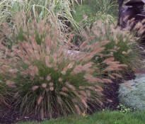1000 images about backyard plants 2014 on pinterest for Dwarf perennial ornamental grasses