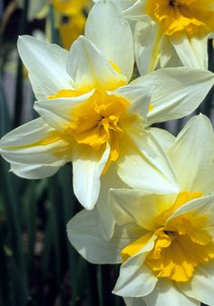 """Daffodil 'Argent' circa 1902 - Considered by some to be the best double daffodil but very hard to find. Argent bursts with Springs exuberance. Height 14-16"""". Zones 4-9"""