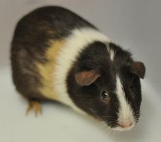 Hi there, I'm Petal, and I'm a Satin Hair Cross guinea pig. For me, it's all about the smooches! I just can't seem to get enough of them - I must be addicted to cuddling. So if you like long naps on the couch with a living hot water bottle to keep your lap warm, and enjoy kisses and cuddles, perhaps you'd like to meet me? I'm just $20 to adopt! (ID: 723837)