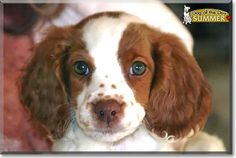 Read Summer's story the Brittany Spaniel from Springfield, Illinois and see her photos at Dog of the Day http://DogoftheDay.com/archive/2013/September/23.html .