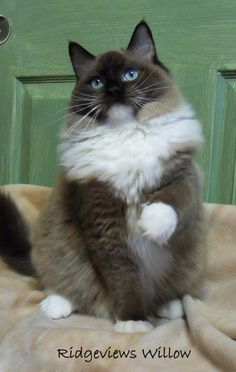 Seal Mitted Mink Ragdoll cat from Ridgeviews Ragdoll Cattery