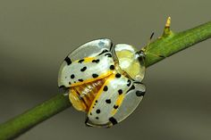 vita-insectum:  This is the insect equivalent of a dalmatian. Imagine 101 of these cuties!