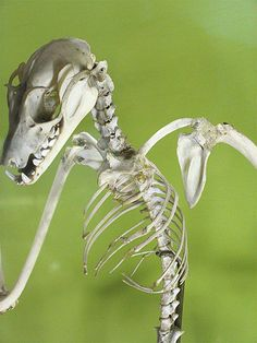 Bat Skeleton by Rendzu, via Flickr
