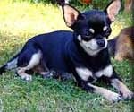 Chihuahua care.
