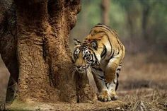 Here are some great pictures of Fabulous Tiger Photography. Tiger live in grasslands where it makes easier for them to hunt various animals for their food. Beautiful Creatures, Animals Beautiful, Cute Animals, Animal Fun, Wild Animals, Nature Animals, Funny Animals, Tiger Wallpaper, Animal Wallpaper