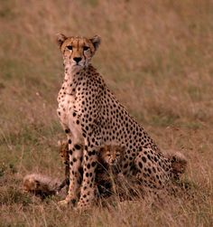 Cheetah family in Masai Mara, Kenya (photo by Carol Schoeman, www.ebensafaris.com)