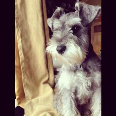 Honey the miniature schnauzer. Follow me on Instagram @ mini_schnauzer_blog :)