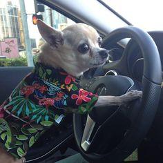 "#lunabluehawaii #dogofthedayjp #dogoftheday #petstagram #愛犬 #犬 #chi #chihuahua #smoothcoatchihuahua #chihuahuas #chihuahualife #chihuahuadog #chihuahualove #chihuahuasofinstagram #petboutique #dogdriving #dogshirt #alohashirt #driving #petboutique #dogfashion #dogfashionista #チワワ #ちわわ部 #親バカ部 #わんこ #smalldog #chihuahuadog #dogs #dogmodel #luxurydog ""Driving  mommy to work just got my dog license to drive.....anybody need a ride"" by lunabluehawaii #lacyandpaws"