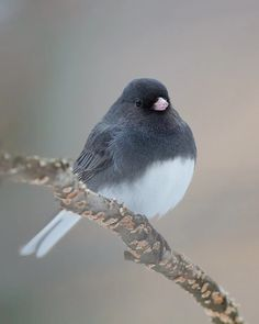 Dark eyed junco. The clean up crew is back! March 23, 2016.