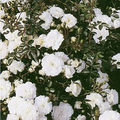 "Rose ""Sea Foam"",1 Pflanze Sea Foam, Plants, Inspiration, Baldur, Roses, Gardening, Cuttings, Greenhouses, Outdoor Living"