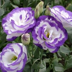 lisianthus   Double click on above image to view full picture