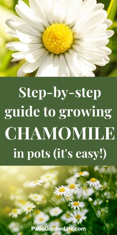 Easy Herbs To Grow, Growing Herbs, Container Plants, Container Gardening, Indoor Gardening, Gardening Tips, Chamomile Growing, Organic Supplies, Edible Plants