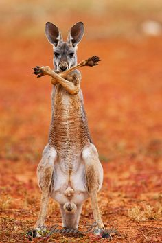 A red kangaroo joey (Macropus rufus) crossing his arms and paws over his chest standing up,  Sturt Stony Desert,  Australia  Photo by Jami Tarris