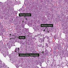 Parotid Gland histologySIU SOM Histology GI Bioenergetics of Respiratory System Anatomy, Histology Slides, Parotid Gland, Human Tissue, Salivary Gland, Medical Laboratory Science, Protein, Quotes For Book Lovers, Medical Coding