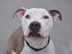 TO BE DESTROYED - 01/12/15 Brooklyn Center - P My name is CUPCAKE. My Animal ID # is A1023440. I am a female white and brown pit bull mix. The shelter thinks I am about 2 YEARS old. I came in the shelter as a STRAY on 12/17/2014 from NY 11210, owner surrender reason stated was ABANDON.  https://www.facebook.com/Urgentdeathrowdogs/photos/a.611290788883804.1073741851.152876678058553/926004117412468/?type=3&theater